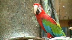 Red Macaw - stock footage