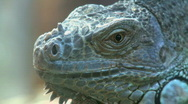 Green Iguana (1 of 2) Stock Footage