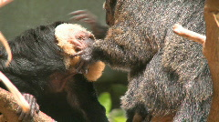 Two Pale-faced Saki Monkeys Grooming Stock Footage