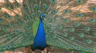 Blue Peacock Stock Footage