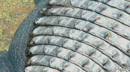 Alligator Skin (Part 2) Stock Footage