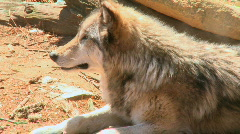 Grey Wolf Stock Footage