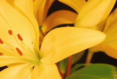 Yellow Lily SD 2 - stock footage