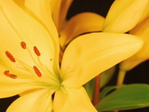 Yellow Lily SD 2 Stock Footage