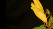 Yellow Lily HD 1a Stock Footage