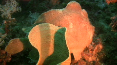 Green Giant Frogfish,Antennarius Commerson on a reef in the Philippines - stock footage