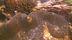 Giant clam, Tridacna gigas on a coral reef in the Philippines Stock Footage
