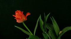 Time-lapse of growing red tulips 3 Stock Footage