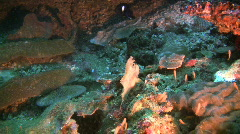 Leaf scorpionfish, Taenianotus Triacanthus on a reef in the Philippines Stock Footage