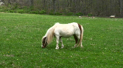 miniature horse - stock footage