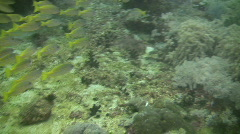 Yellowfin goatfish, Mulloidichthys vanicolensis on a coral reef in Philippines Stock Footage