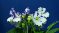 Time-lapse of white-blue saintpaulia growing 2 Stock Footage