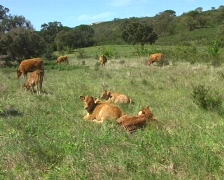 Young calves in the fields from Portugal Stock Footage