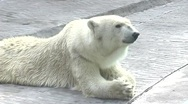 Stock Video Footage of Polar bear
