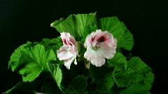 Time-lapse of opening pink pelargonium 1 Stock Footage