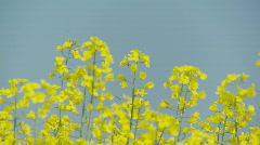 Rape flowers against blue sky Stock Footage