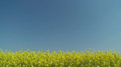 Rapefield with place for your text Stock Footage