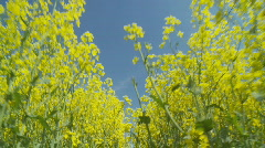 Walking through rape field low Stock Footage