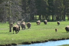 Stock Video Footage of Buffalo roam