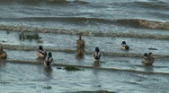 Ducks in rough river Stock Footage