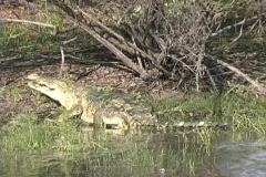 Large croc leaving - stock footage