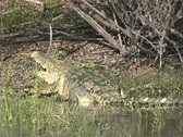 Stock Video Footage of Large croc leaving