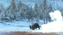 Yellowstone buffalo - stock footage