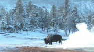 Stock Video Footage of Yellowstone buffalo