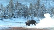 Yellowstone buffalo Stock Footage