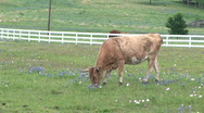 Stock Video Footage of cow pasture 5