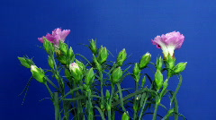 Time-lapse of growing Dianthus (pink) flower bush 1 (Part A) Stock Footage