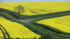 Road through fields of the yellow flowers of an oil seed rape crop. - stock footage