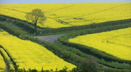 Road through fields of the yellow flowers of an oil seed rape crop. Stock Footage