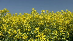 Yellow oil seed rape crop flowers against a blue sky Stock Footage