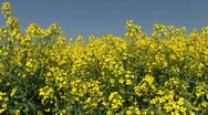 Stock Video Footage of Yellow oil seed rape crop flowers against a blue sky