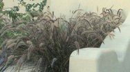 Stock Video Footage of Purple Fountain grass 002