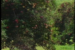 Apple Orchard Pan - stock footage
