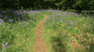 Stock Video Footage of Path through a woodland clearing with bluebells