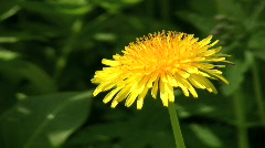 Dandelion, Taraxacum officinale during spring Stock Footage