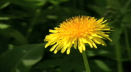 Stock Video Footage of Dandelion (Taraxacum officinale)