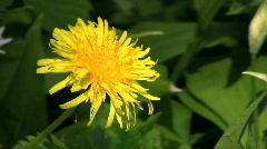 Dandelion, Taraxacum officinale during spring Stock Footage