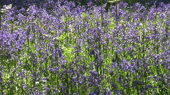 Sunlit bluebell in a woodland clearing in England Stock Footage