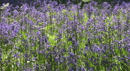 Stock Video Footage of Sunlit bluebell in a woodland clearing in England