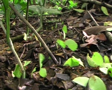 Trail of leaf cutter ants (Atta sp.) on the forest floor Stock Footage