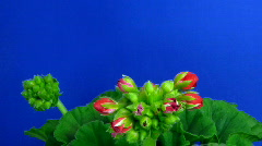Time-lapse of blooming red geranium 1 - stock footage