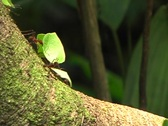 Leaf cutter ants (Atta sp.) Stock Footage