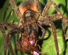 Ctenid spider feeding on a centipede - stock footage