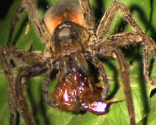 Tropical wolf spider (Ctenidae) feeding on a centipede Stock Footage