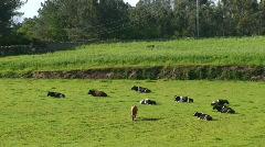 Cows graze in field Stock Footage