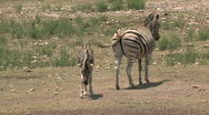 Zebra mother and young lays down  M HD Stock Footage